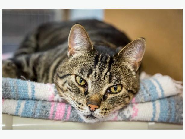 Guinness - Domestic Short Hair Cat
