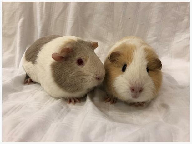 Maxine - Guinea Pig Small Animal