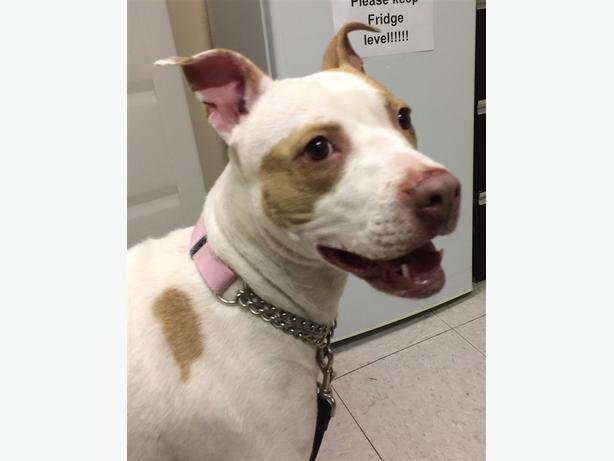 Becka - American Staffordshire Terrier Dog