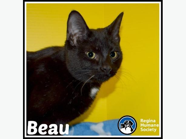 Beau* - Domestic Short Hair Kitten