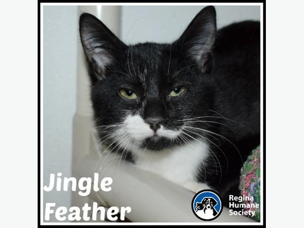 Jingle Feather - Domestic Short Hair Kitten