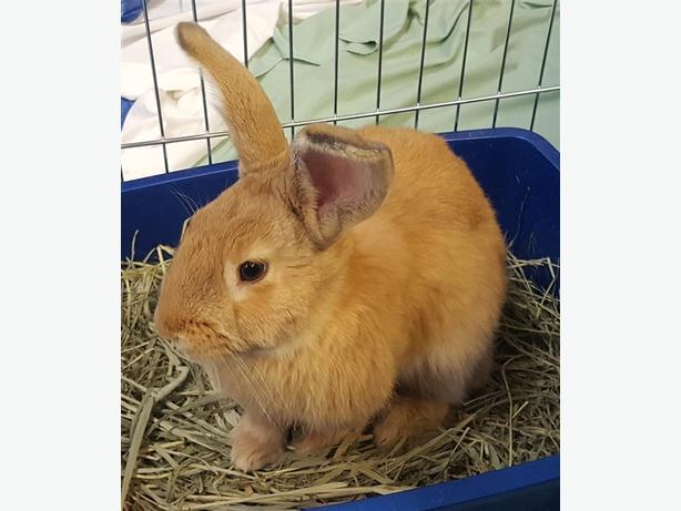Thumper - American Rabbit