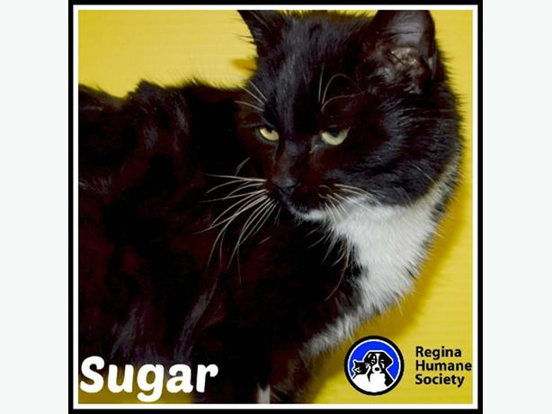 Sugar* - Domestic Short Hair Cat