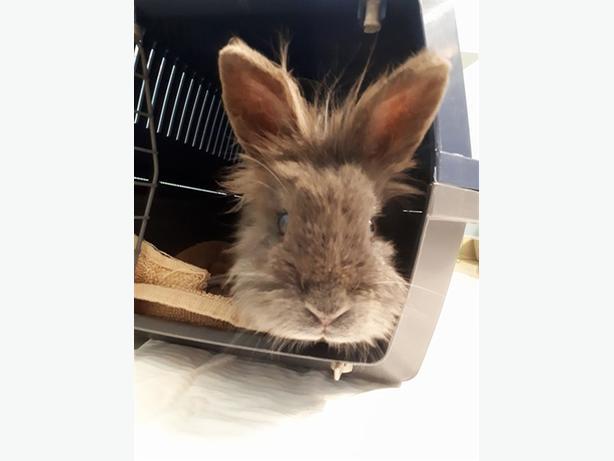 Owen - Lionhead Rabbit