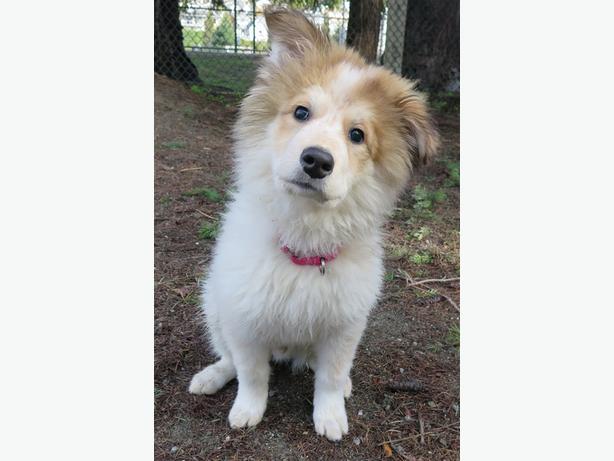 Eggo - Australian Shepherd Puppy