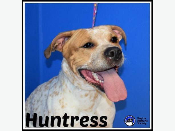 Huntress* - American Staffordshire Terrier Dog North Regina