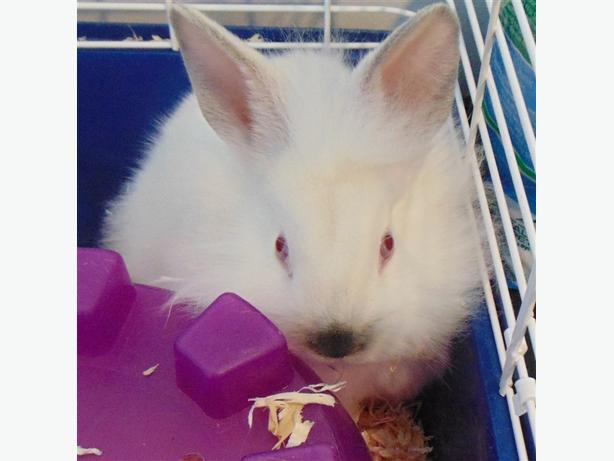 Joey - Californian Rabbit