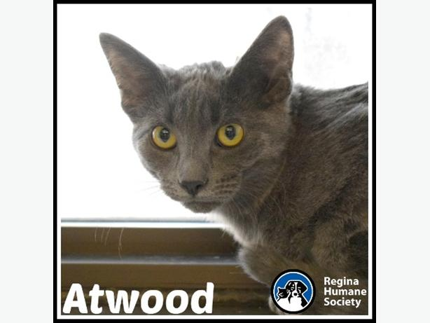 Atwood* - Domestic Short Hair Kitten