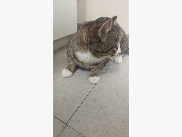 Wyatt - Domestic Short Hair Cat