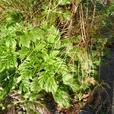 Geranium Palmatium - unusual & evergreen