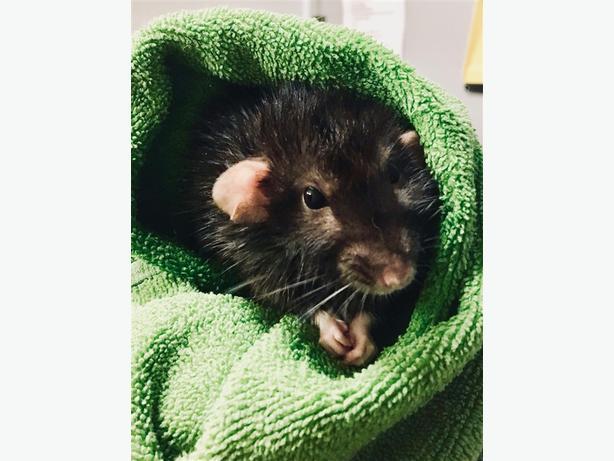 Penelope - Rat Small Animal