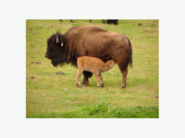 Bison For Sale