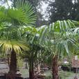 45 gallon size Windmill Palms