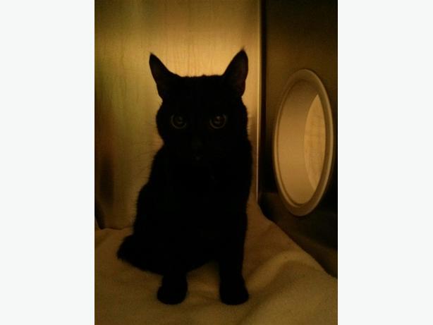 Ning - Domestic Short Hair Cat