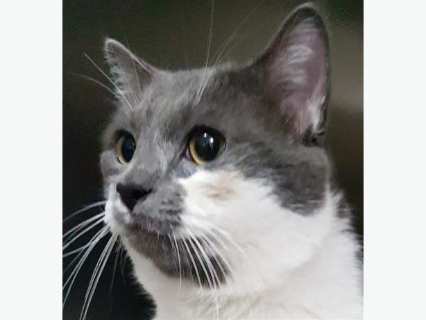 Gandalf - Domestic Short Hair Cat
