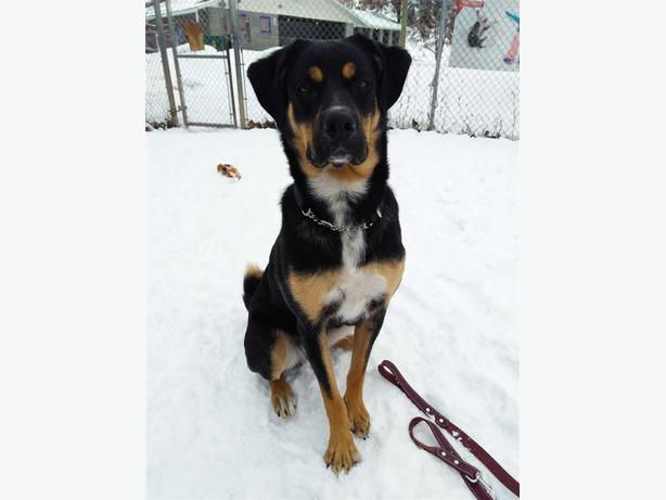 Lulu - Rottweiler Dog
