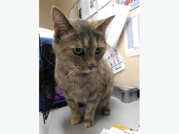 Minoo - Domestic Short Hair Cat