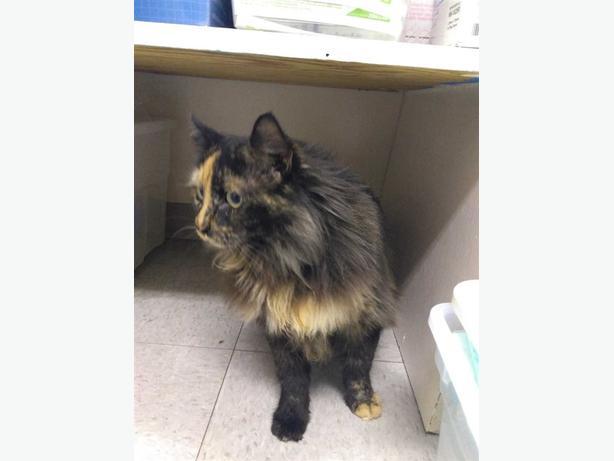 Mary Jane - Domestic Medium Hair Cat