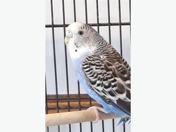 Gordie - Budgie Bird - Exotic