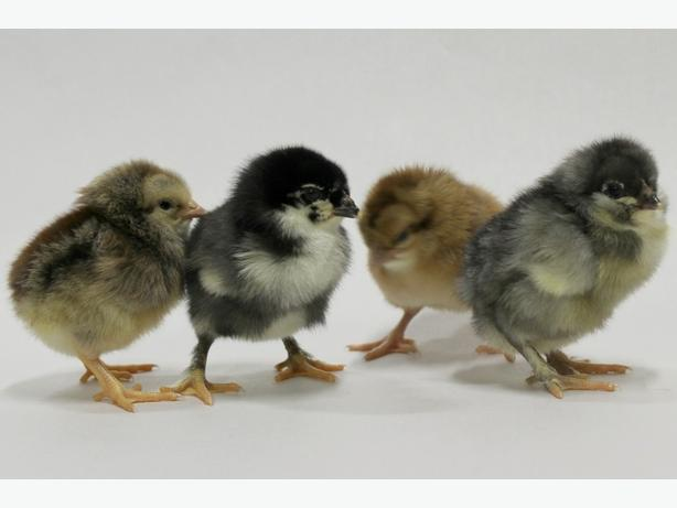 Olive Egger and Americana Chicks