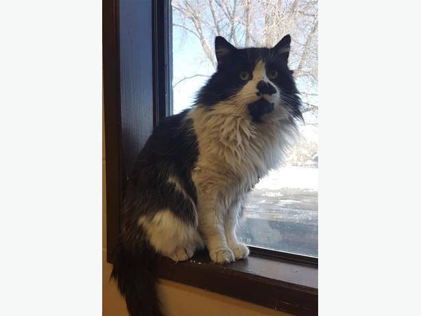 Snuffles - Domestic Longhair Cat