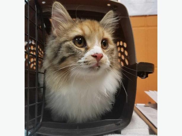 Sugar - Domestic Medium Hair Cat
