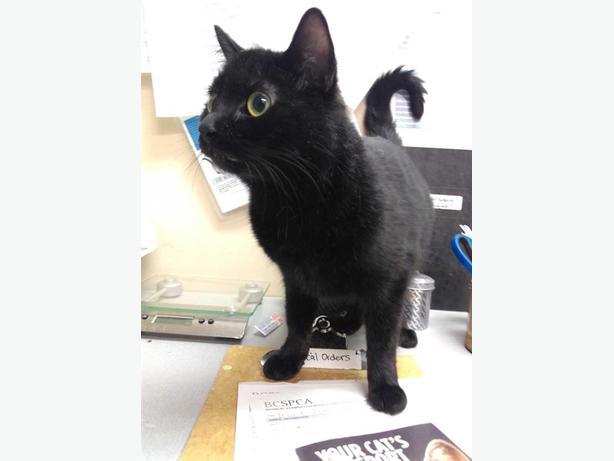 Krystle - Domestic Short Hair Cat