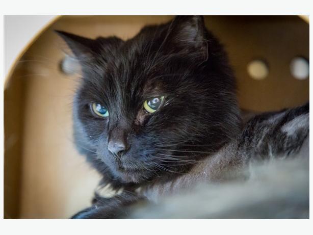 Yang - Domestic Longhair Cat