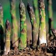 Certified Organic Asparagus Plants for Sale -bareroot