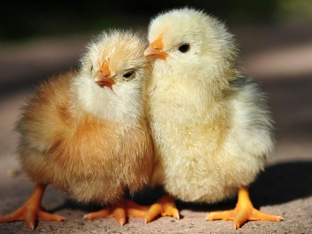 Buckerfields Poultry Swap