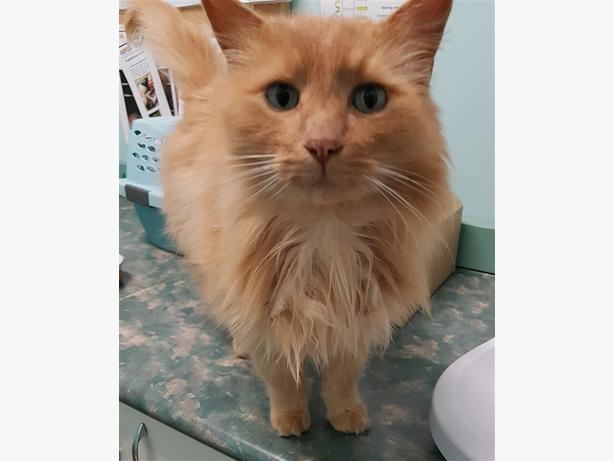 Jerome - Domestic Longhair Cat