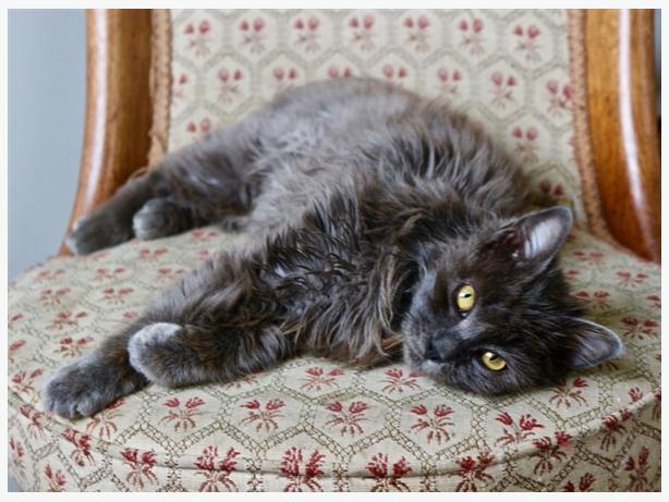 Storm - Domestic Longhair Kitten