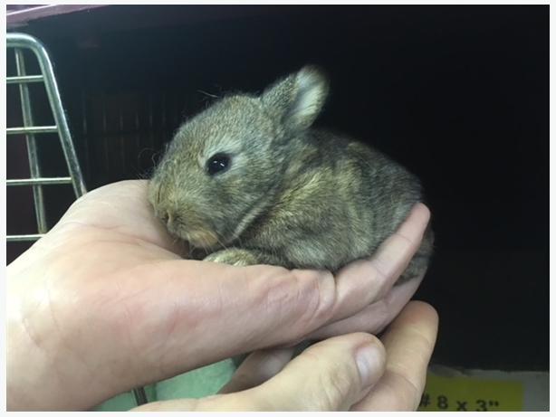 Mopsy - Rex Rabbit