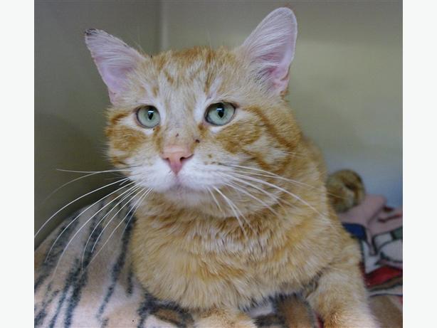 MacGyver - Domestic Short Hair Cat