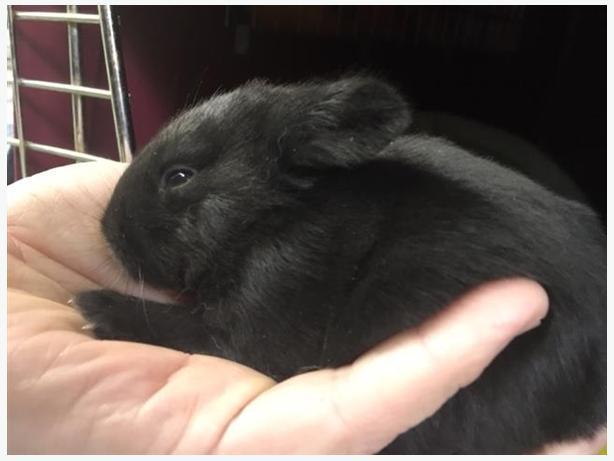 Cottontail - Rex Rabbit