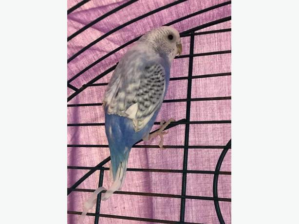 Bindi - Budgie Bird - Exotic