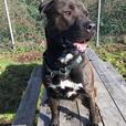 Dexter - American Staffordshire Terrier Dog