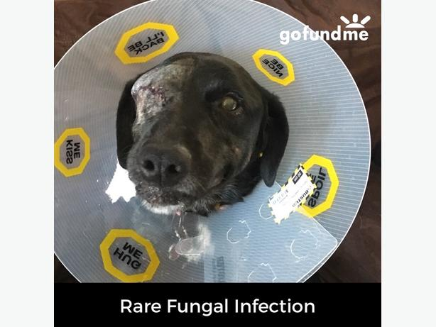 My furbaby has a very rare fungal infection