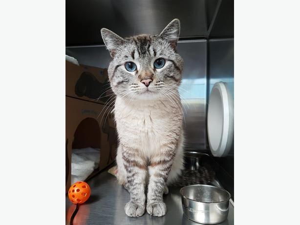 Begbie - Domestic Short Hair Cat