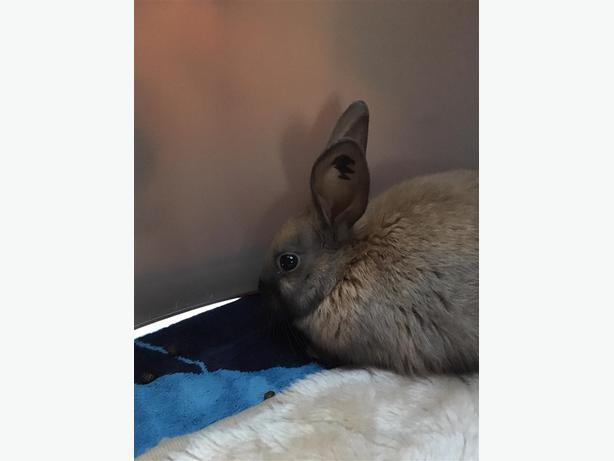 Ruffle - American Rabbit