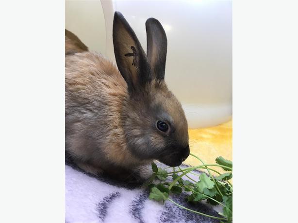 Dorito - American Rabbit