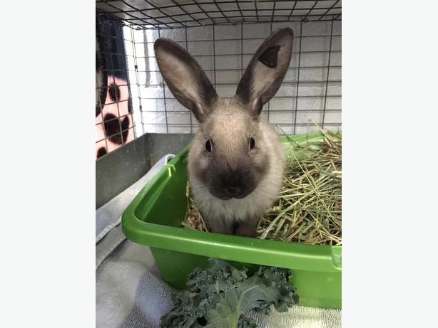 Pretzel - American Rabbit