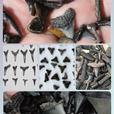 10 pcs Fossilized Shark Teeth