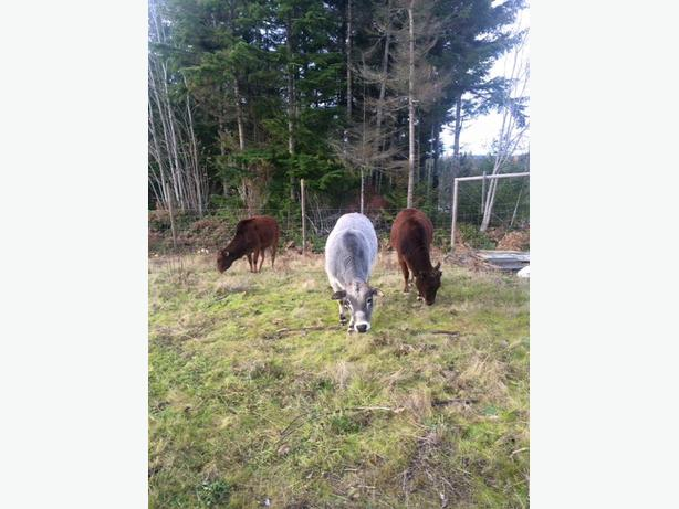 Registered miniature zebu herd