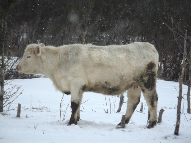 charolais bred heifer