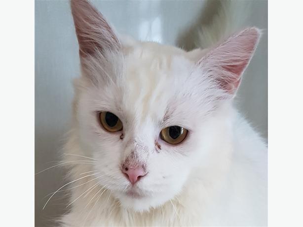 Elsa - Domestic Medium Hair Cat
