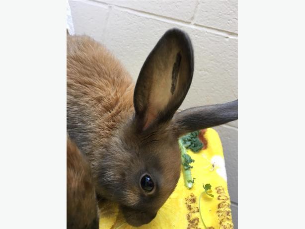 Dutch - American Rabbit