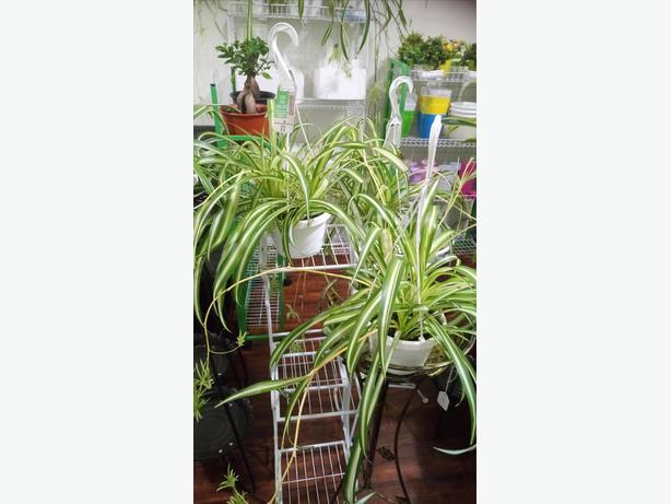 "6"" aloe, dracaena, bonsai, spider plant,  etc for sale"
