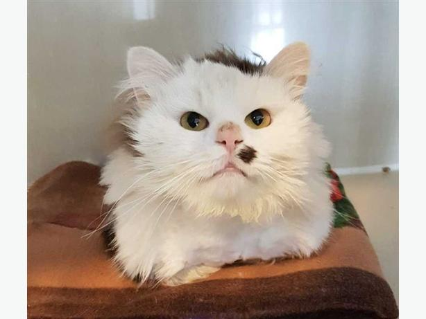 Hershey - Domestic Longhair Cat