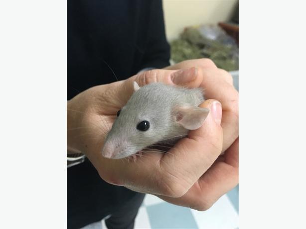 Moana - Rat Small Animal